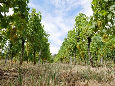 Cultiver la vigne sans pesticides