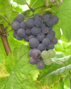 L'histoire du Pinot noir qui devient Pinot gris puis Pinot blanc