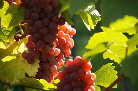 Mise en en évidence du rôle d'un cytochrome P450 dans la synthèse de la wine lactone dans les vins
