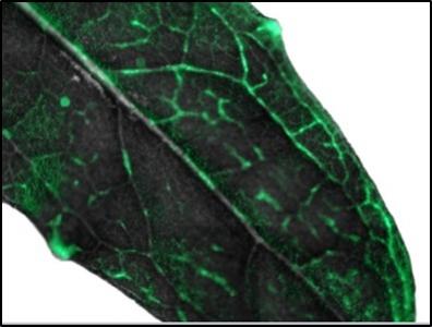 A fluorescent polerovirus to follow virus movement in the plant
