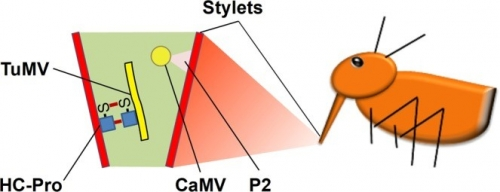Comparison of transmission activation of two viruses