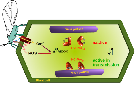 Transmission activation: a process also occuring for a potyvirus