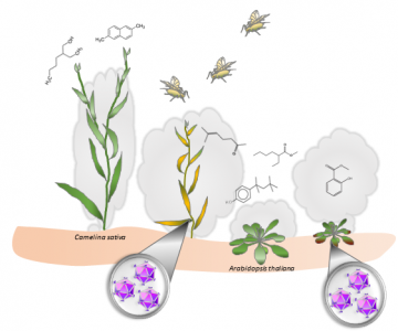 TuYV-infected plants release more volatiles that attract aphids