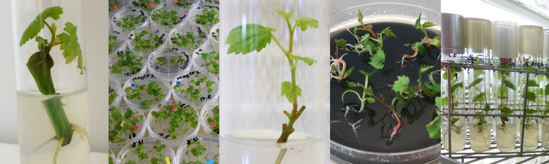 Plateforme de culture in vitro de la vigne - (c) Mireille Perrin