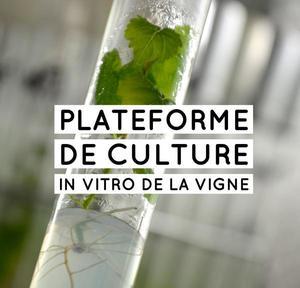SVQV - In vitro
