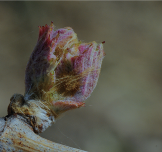 Phénologie de la vigne