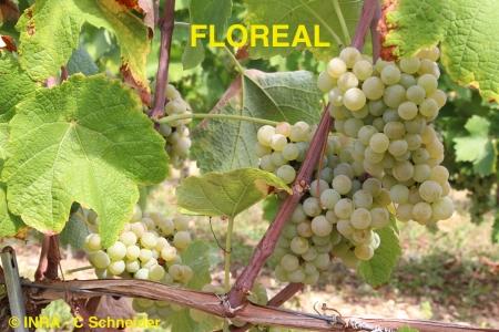 Vigne : des variétés résistantes au mildiou et à l'oïdium inscrites au catalogue officiel