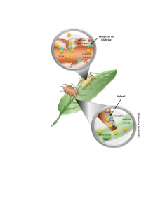 Identification des premiers récepteurs de virus de plante chez les pucerons
